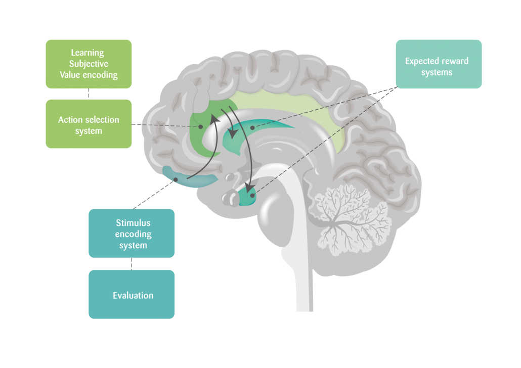 Rule receptive areas of the human brain